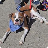 Adopt A Pet :: Barkely- CAT/DOG FRIENDLY - Clarkston, MI