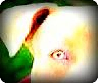 American Staffordshire Terrier Mix Dog for adoption in Hermosa, California - Chopper waterdog