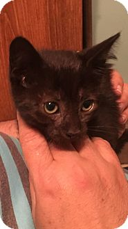 Domestic Shorthair Kitten for adoption in Miami Gardens, Florida - Cassie