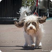 Adopt A Pet :: Suki - San Marcos, CA