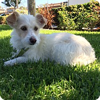 Adopt A Pet :: Sage - Mission Viejo, CA
