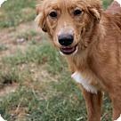 Adopt A Pet :: Amber (Needs foster/Has application)
