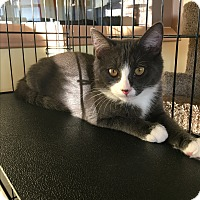 Domestic Shorthair Kitten for adoption in Goshen, New York - Tom