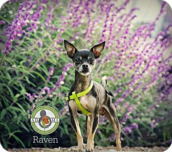 Chihuahua Mix Dog for adoption in Oceanside, California - Raven