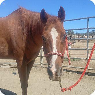 Quarterhorse/Thoroughbred Mix for adoption in Newcastle, California - Teddy