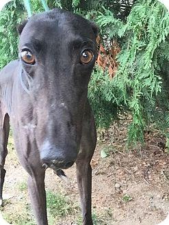 Greyhound Dog for adoption in Swanzey, New Hampshire - Stretch
