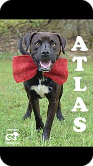Labrador Retriever Mix Dog for adoption in Jacksonville, Florida - Atlas