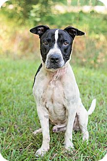 American Bulldog Mix Dog for adoption in Daleville, Alabama - Rubicon
