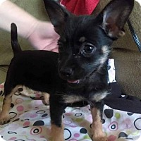 Chihuahua/Terrier (Unknown Type, Medium) Mix Puppy for adoption in Tucson, Arizona - Isadora