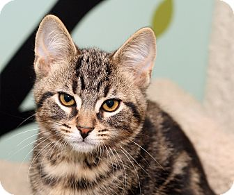 Domestic Shorthair Kitten for adoption in Royal Oak, Michigan - SERGEANT