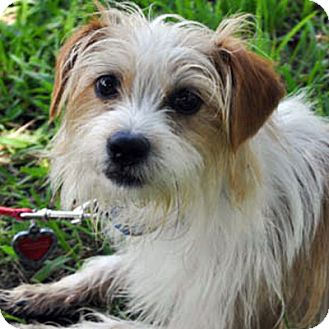 Terrier (Unknown Type, Medium) Mix Dog for adoption in Waco, Texas - Freddy