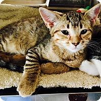 Adopt A Pet :: Dodger - Oakdale, CA