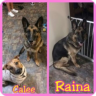 German Shepherd Dog Dog for adoption in Mesa, Arizona - Raina