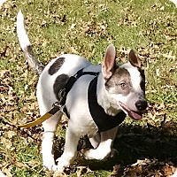 German Shepherd Dog Mix Dog for adoption in Wilmington, Massachusetts - Jekyll (medical hold, NJ)