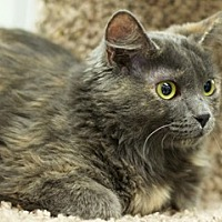 Adopt A Pet :: Roly Poly - Great Falls, MT