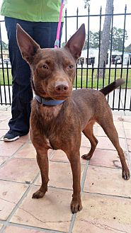 Pharaoh Hound/Chihuahua Mix Puppy for adoption in Houston, Texas - Hershey
