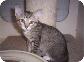 Domestic Shorthair Kitten for adoption in St. Louis, Missouri - PJ