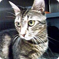 Domestic Shorthair Cat for adoption in Webster, Massachusetts - Azna