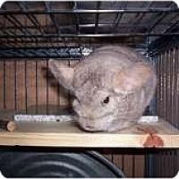 Adopt A Pet :: Yoda - Avondale, LA