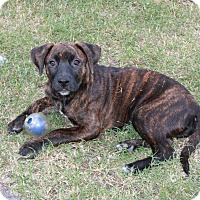 Adopt A Pet :: Cinna - Homewood, AL