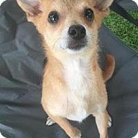 Adopt A Pet :: Figo - San Antonio, TX