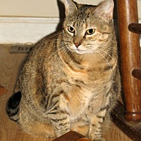 Domestic Shorthair Cat for adoption in Queensbury, New York - Fauna