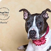 Pointer/Pit Bull Terrier Mix Dog for adoption in Killington, Vermont - Shasta