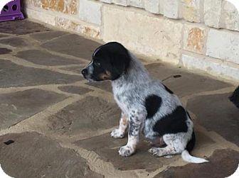 Australian Cattle Dog Mix Dog for adoption in Von Ormy, Texas - Trooper