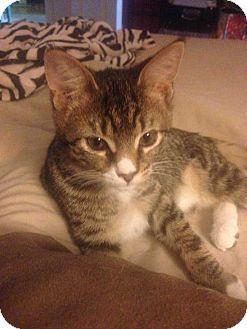 Domestic Shorthair Kitten for adoption in Dawson, Georgia - Magic