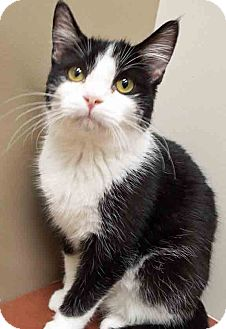 Domestic Shorthair Kitten for adoption in Plainfield, Illinois - Sparky