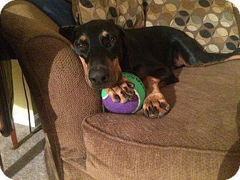 Doberman Pinscher Dog for adoption in Lloyd, Florida - Dogbert