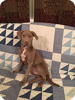 Weimaraner Mix Puppy for adoption in Boerne, Texas - Marigold