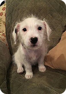 Corgi/Miniature Schnauzer Mix Puppy for adoption in Allentown, New Jersey - Ana