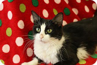 Domestic Mediumhair Cat for adoption in Yucaipa, California - Cheyenne