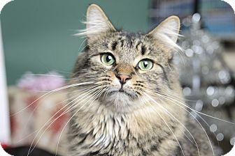 Domestic Shorthair Cat for adoption in Whitehall, Pennsylvania - Kittery