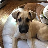 Adopt A Pet :: Roka - Independence, MO