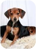 Miniature Pinscher/Beagle Mix Puppy for adoption in St. Louis, Missouri - Betsy Min Pin Mix