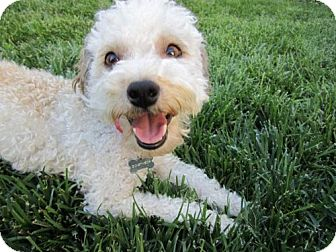 Poodle (Miniature) Mix Dog for adoption in Woodland Hills, California - Summer