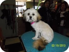 Shih Tzu/Havanese Mix Dog for adoption in Shawnee Mission, Kansas - Penelope