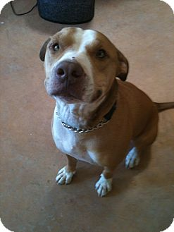 Staffordshire Bull Terrier Mix Dog for adoption in Phoenix, Arizona - Lenny