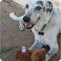 Adopt A Pet :: Susie - Gilbert, AZ