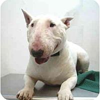 Adopt A Pet :: Adrian - Port Washington, NY