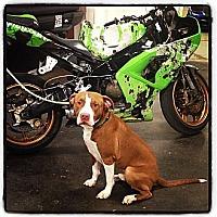 Adopt A Pet :: Zazu - Des Peres, MO