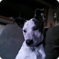 Adopt A Pet :: Payton - Westminster, CO