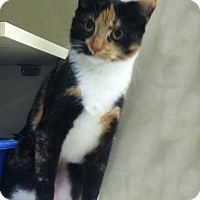 Adopt A Pet :: Callie - Riverhead, NY