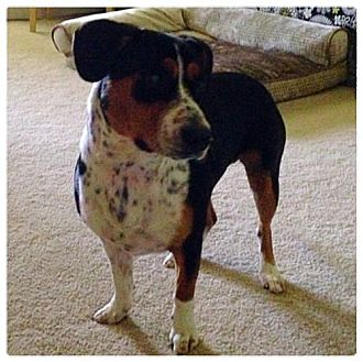 Beagle/Beagle Mix Dog for adoption in Dallas, Texas - zzShirley