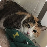 Adopt A Pet :: Calli - North Kingstown, RI
