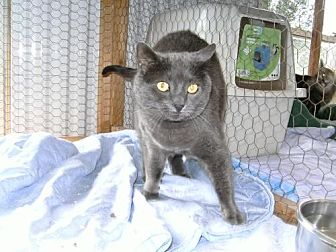 Domestic Shorthair Cat for adoption in Sparta, Wisconsin - Mr Whiskers