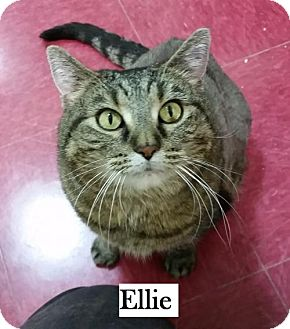 Domestic Shorthair Cat for adoption in Lakewood, Colorado - Ellie