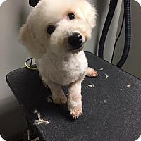 Adopt A Pet :: Watson - a girl! - Woonsocket, RI